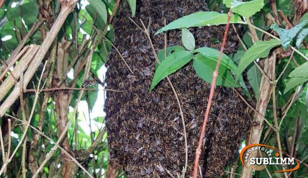 Reprise d'un essaim d'abeilles