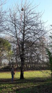 Nid de frelons dans un arbre