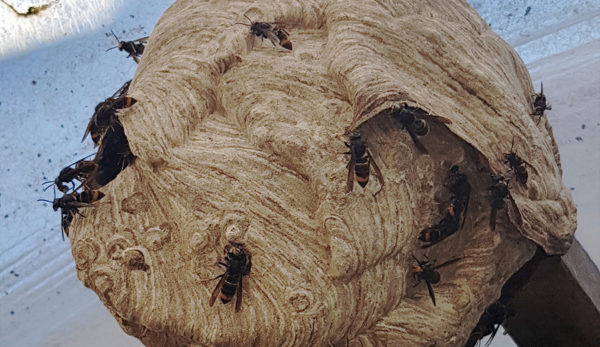 Nids de frelons sous toiture